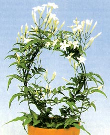 Цветок жасмин домашний фото